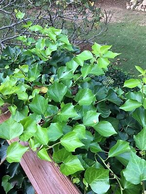 Set of 2 Swedish Ivy cuttings 6-7 inches in length.