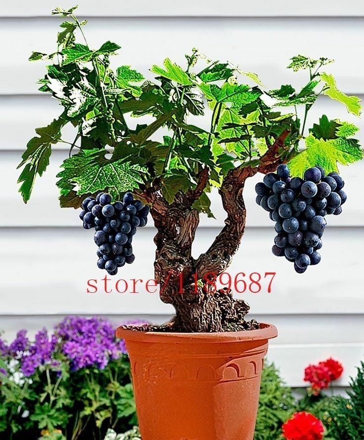 100pcs Fruit Seeds Grapes Bonsai Tree Purple Easy Grow Summer Home Garden Plants For Sale Online Ebay