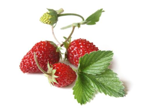 """großfruchtig 200 Samen Fragaria vesca /""""Regina/"""" Wald-Erdbeere"""