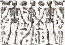 Art Poster Human  BONES 1850 Medical Anatomy    Print