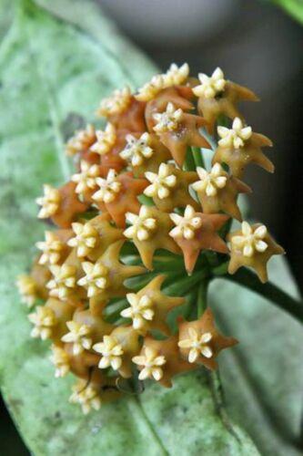 Hoya Fusca Giallo Cera Fiore Semi