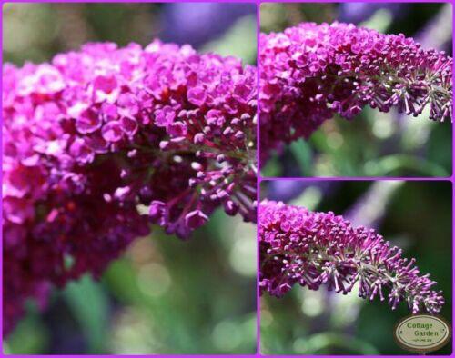 Buddleja Royal Red 40//60 ~Schmetterlingsflieder~ Duft