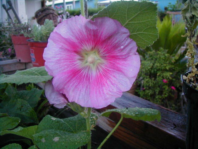 Pink with Deep Pink Centers- Hollyhock -20 Seeds-FREE S&H