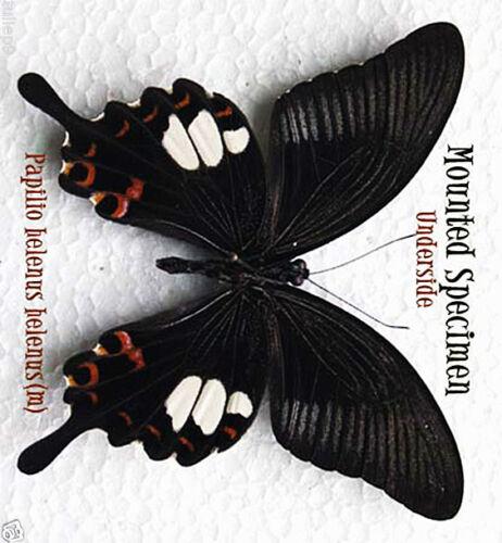 Malaysia m - Tapah Hills 4-6 Papilio helenus helenus