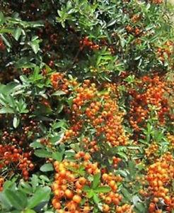 buisson ardent 39 baie orange 39 pyracantha graines arbuste haie champ tre ebay. Black Bedroom Furniture Sets. Home Design Ideas