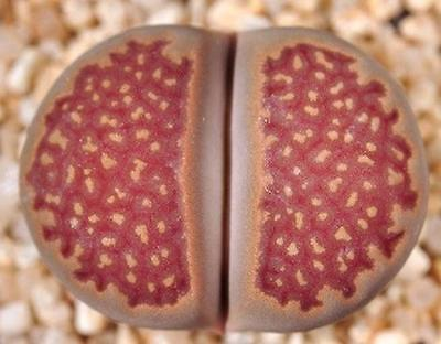 LITHOPS HALLII OCHRACEA rare living stones rock RED mesemb exotic seed 50 SEEDS