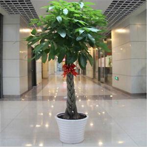 1pcs-pachira-money-tree-seeds-good-luck-much-money-indoor-plant-ornamenta-K7T