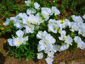 GODETIA-GRANDIFLORA-WHITE-2000-seeds-AZALEAFLORA-Annual-flower