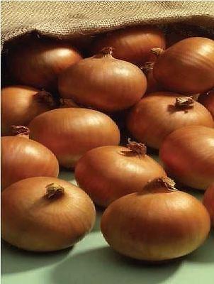 Vegetable - Onion - Ailsa Craig - 12000 Seeds - Bulk