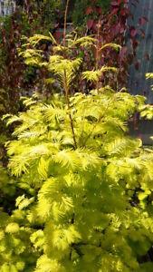 Metasequoia-glyptostroboides-Goldrush-gelber-Mammutbaum-120-130cm