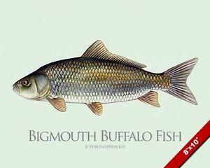Bigmouth buffalo fish painting fishing art real canvas for Buffalo fish taste