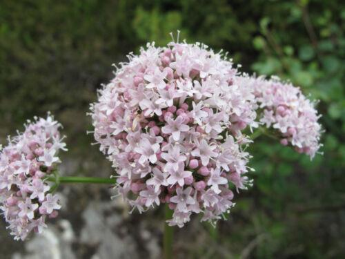 200 Samen   Heilpflanze  Teepflanze  Gewürz  Duftpflanze ECHTER BALDRIAN