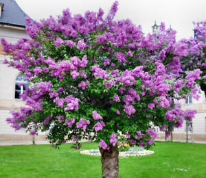 50pcs Lilac Flower Tree Seeds Shrub Perennial Flower Ornamental