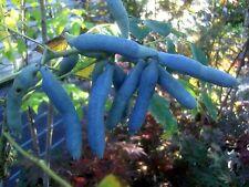 Decaisnea fargesii, Blaugurke, Blauschote, 60-80cm