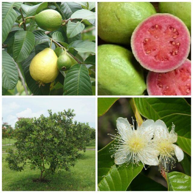 10 fresh seeds of Pink Dwarf Guava (Psidium guajava nana)
