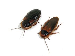 28 Dubia Feeder Roaches 12 Male 16 Female Adult Blaptica Dubia Roaches
