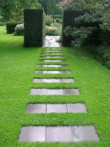 200-Semillas-De-Alfombra-Verde-herniaria-glabra-hierba-Flores-Cubresuelos