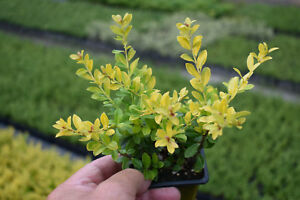 1 Ilex Crenata Golden Gem 1015cm In 8x8cm Pot Golden Yellow