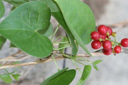 Tinospora cordifoliaKanda AmrtaMoonseedGuduchiGiloy5/_Seeds