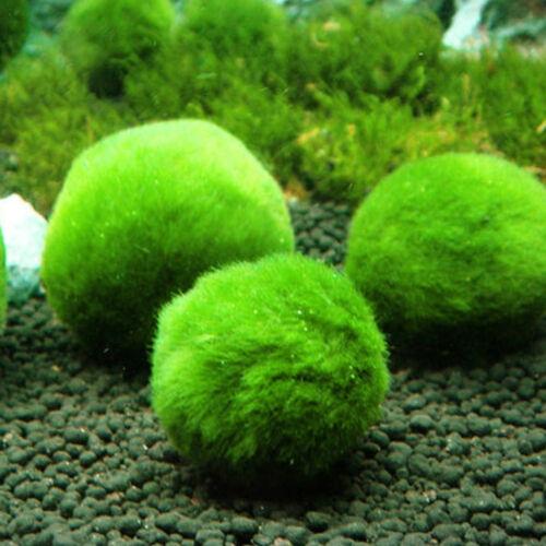 Green Marimo Moss Ball Plant Filter Live Aquarium Aquatic Fish Shrimp Tank Decor