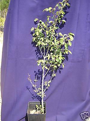 ULMUS CAMPESTRIS vq Olmo campestre Elm pianta plant