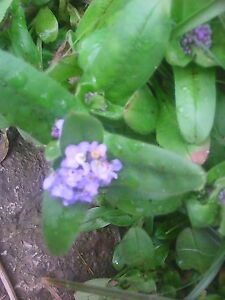 3 x small forget me not potted plantspread fastplant now spring image is loading 3 x small forget me not potted plant mightylinksfo
