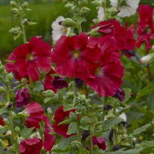 Alcea Rosea Mars Magic Pot 1 Litre Rose Tremiere Vivace Ebay