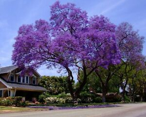 Royal empress tree 300 seeds stunning purple flowers in spring fast image is loading royal empress tree 300 seeds stunning purple flowers mightylinksfo