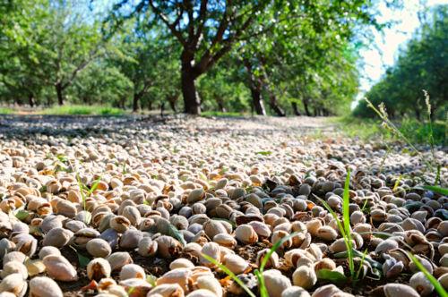 Rare Prunus dulcis Variety Padre-Padre Sweet Almond *3 seeds early age fruiting