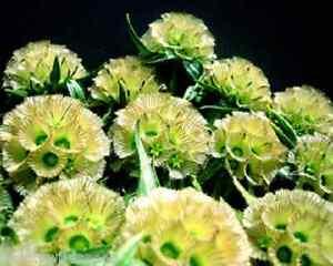Rare Scabiosa Drumstick 10 seeds  UK SELLER