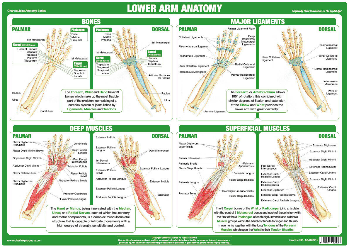 Lower Arm Anatomy Poster Forearm Wrist Muscles Tendons Bones Joint