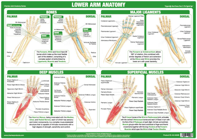 Lower Arm Anatomy Poster Forearm Wrist Muscles Tendons