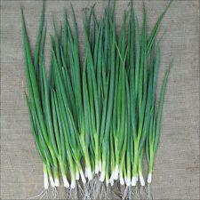 200 Seeds of ONION SOFT WHITE CEBETTE (Spring onion)