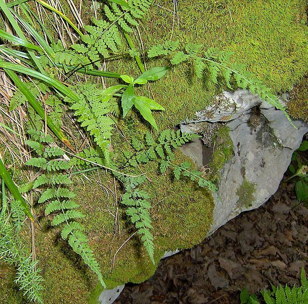 Woodsia obtusa Cliff Fern sent in 9cm Pot