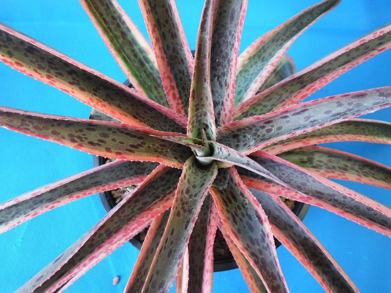 "Mangave Hybrid /""Kaleidoscope/"" VARIEGATED Manfreda x Agave Succulent 15/"" Wide"
