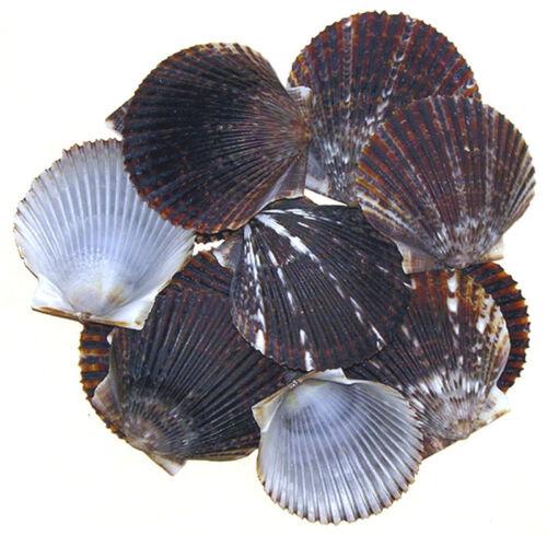 Gray-Scallop-Clam-Cockle-Half-Shells-1-1-2-034-2-034-Craft-Seashells-25-50-Pcs