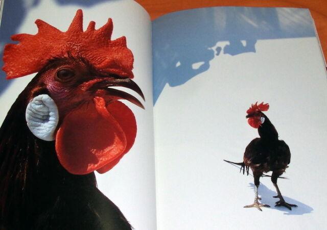 Niwatori : Chicken Photo Book Gallus gallus domesticus #0729