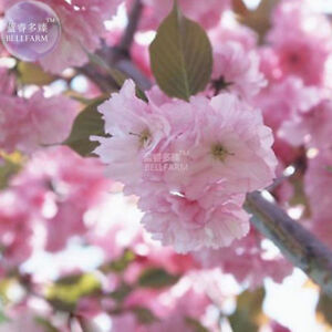 Image Is Loading Anese Pink Cherry Blossom Sakura Tree 20 Seeds
