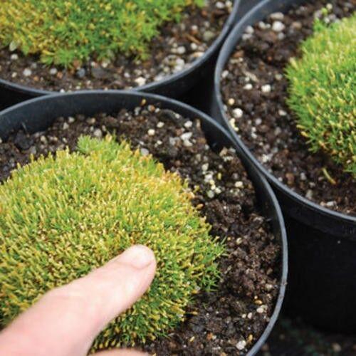 Alpine Blumen Knäuelkräuter uniflorus Knawel kissen 150 Samen Groß Packung