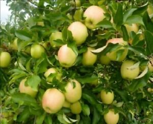 5 2 cuttings scions Golden Delicious Apple tree plant rooting grafting