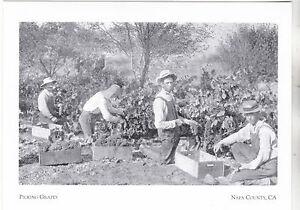 034-Four-Men-Picking-Grapes-034-Napa-Vineyards-Napa-County-CA-Postcard-A72-1