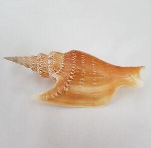 Strombus-Listeri-Seashell-Lister-039-s-Conch-132MM-Shell-ST3