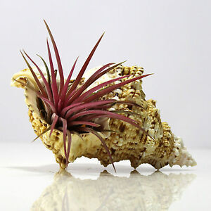 TILLANDSIA-Air-Plant-Kit-Bright-Red-Ionantha-in-Red-Mouth-Frog-sea-shell