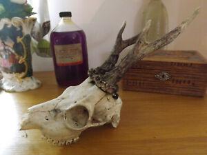 Crâne avec cornes - bois - Cabinet de curiosité - taxidermy sheep skull gothic V6ZzypF2-09154058-268195273