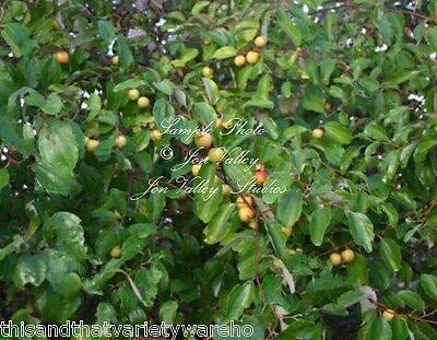 Ziziphus Mauritania Ber Tree Rare Seeds Small Evergreen Fragrant