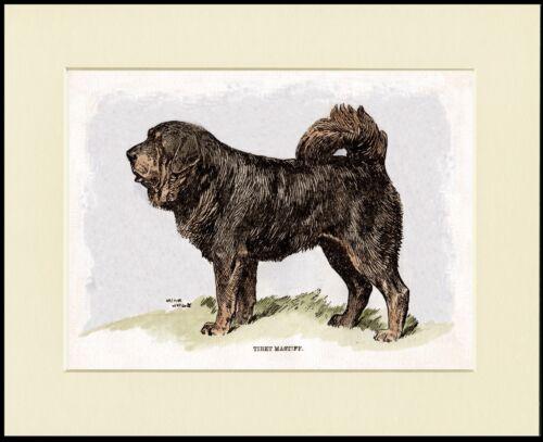 TIBETAN MASTIFF LOVELY DOG PRINT MOUNTED READY TO FRAME