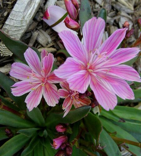 Lewisia Hybrid Mix Succulent Cold Tolerant Multi Colours Bitter Root Seed