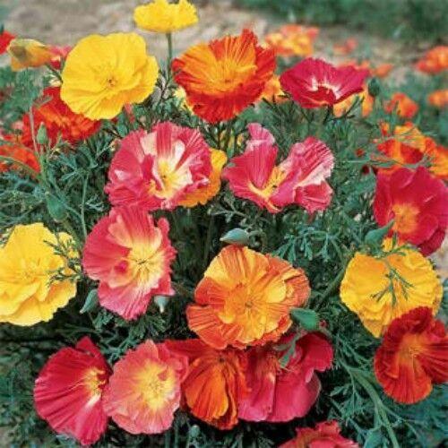 250 California Poppy Flower Seeds Thai Silk #66