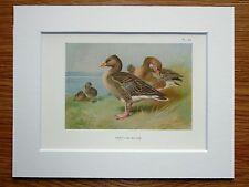 Archibald Thorburn - Greylag Goose - Mounted Vintage 1920s Bird Print (98)
