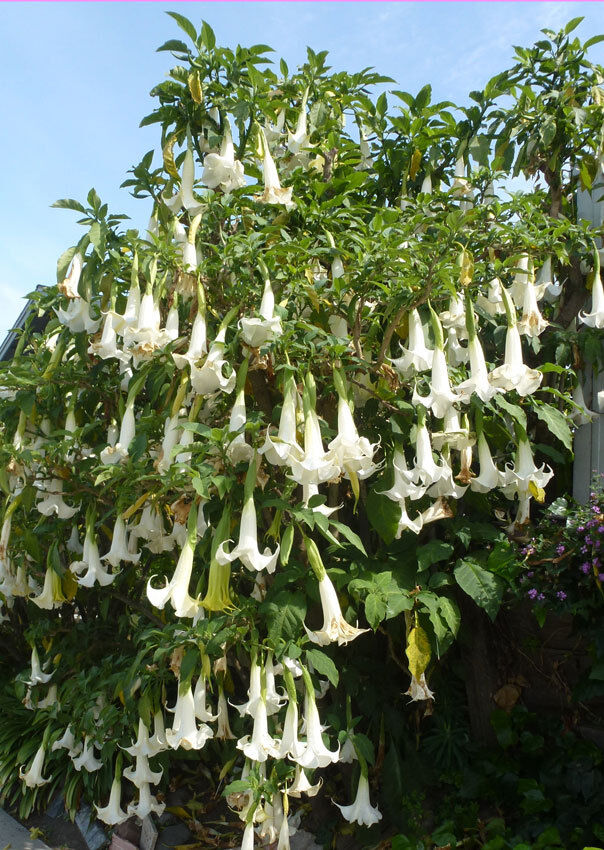 Exotic brugmansia arborea rare white flower angels trumpet tree norton secured powered by verisign mightylinksfo